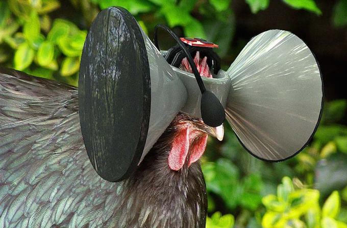 Tavuklar için Oculus Rift