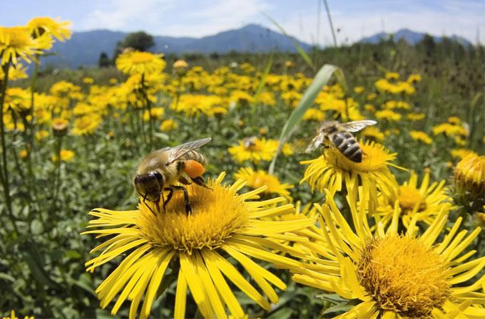 Obama, arı popülasyonunu kurtarmak için kolları sıvadı