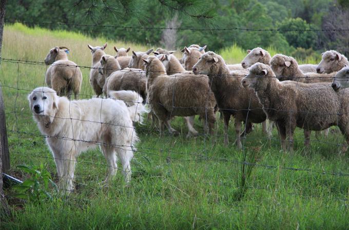 Çoban köpekleri robotların gelişimine yardımcı olacak