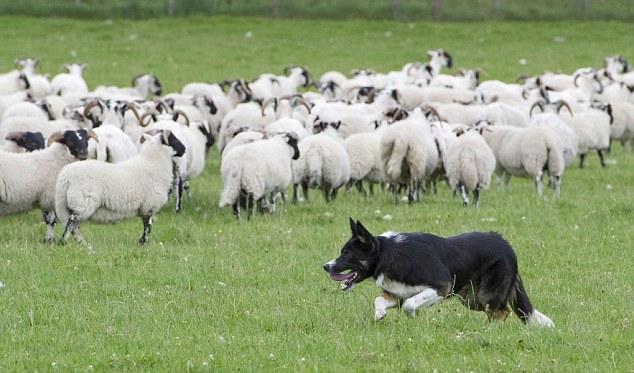 Ron adlı bu çoban köpeği oldukça kaliteli cins bir hayvan