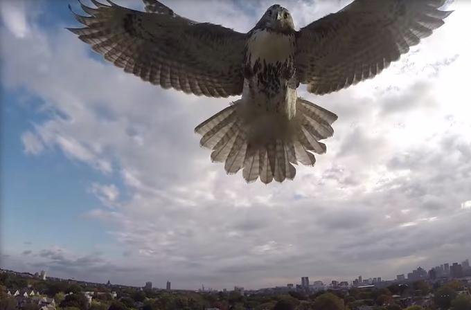 Video: Şahin havada uçan drone'a saldırdı