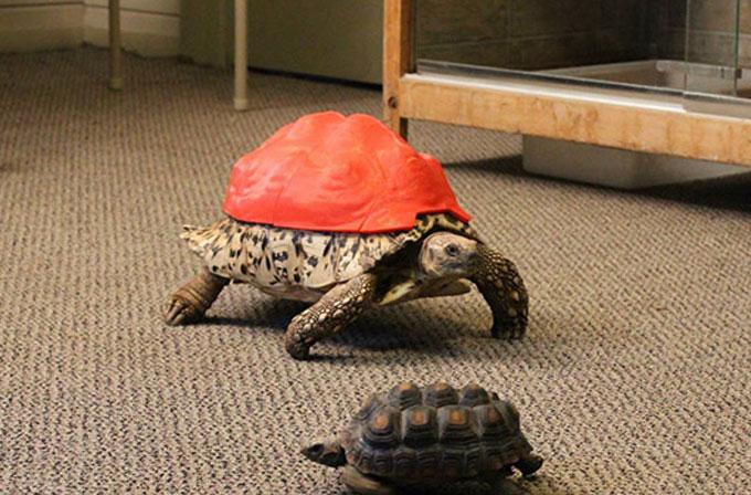 Hasta kaplumbağanın hayatını 3D yazıcı kurtardı