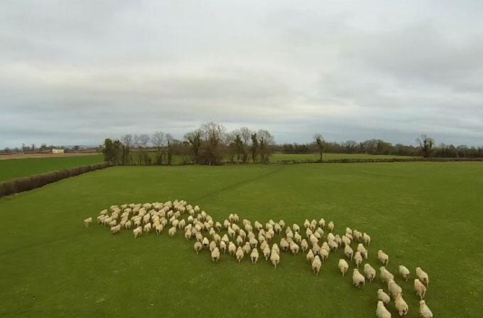 """Sürüyü kontrol eden """"çoban"""" drone!"""