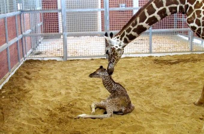 Zürafa Katie'nin doğumu internetten canlı yayınlandı