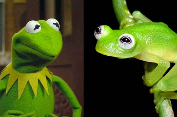 Aynı kurbağa Kermit'e benzeyen yeni bir kurbağa türü keşfedildi