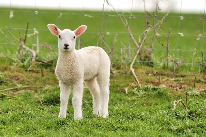 Fransa'da birkaç kişi yanlışlıkla DNA'sı değiştirilmiş koyunu yedi
