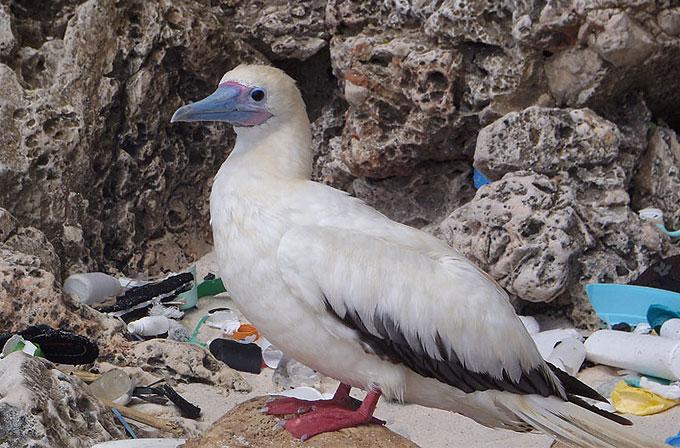 2050 yılında deniz kuşlarının %99'u plastik yutacak